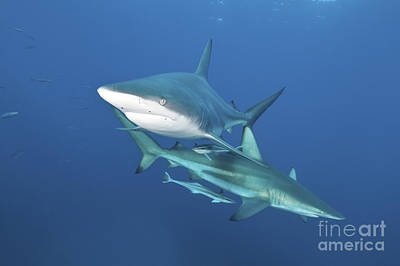 Elasmobranch Photograph - Oceanic Blacktip Sharks With Remora by Mathieu Meur