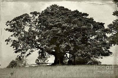 Old Fig Tree Art Print by Kaye Menner