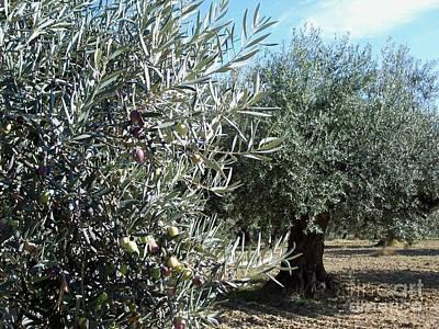Olive Trees Art Print by Judy Kirouac