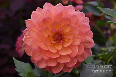 Photograph - Orange Dahlia by Jeannie Rhode