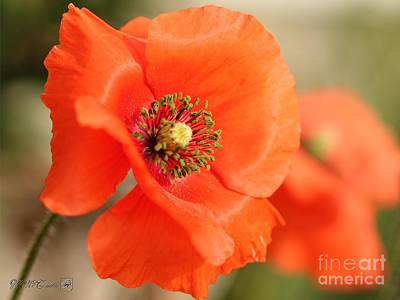 Photograph - Orange Wild Flanders Poppy by J McCombie