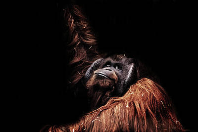 Orangutan Photograph - Orangutan by Martin Newman