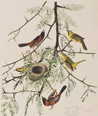 Orchard Oriole Art Print by John James Audubon