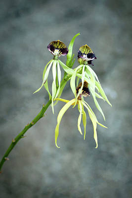 Photograph - Orchid  by Catherine Lau