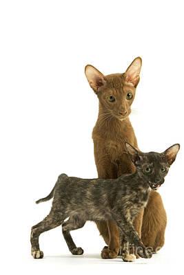 Parti Photograph - Oriental Cat And Kitten by Jean-Michel Labat