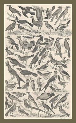 Falcon Drawing - Ornithology by Dreyer Wildlife Print Collections