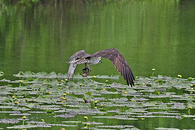 Photograph - Osprey Fishing by Jack Moskovita
