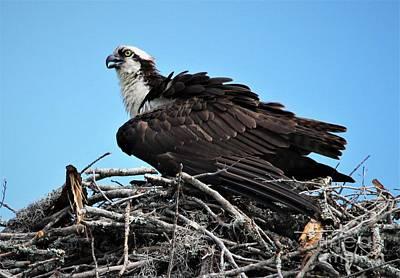 Photograph - Osprey by Paulette Thomas
