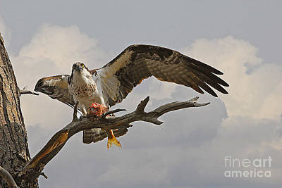 Popstar And Musician Paintings - Osprey with Fish by Dennis Hammer