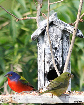 Sebastian Florida Photograph - Painted Buntings by W Gilroy