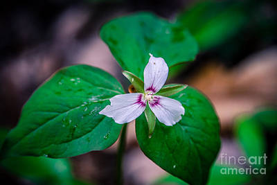 Photograph - Painted Trillium by Grace Grogan