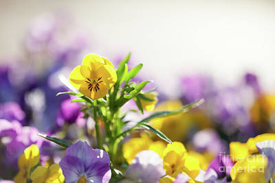 Photograph - Pansies by Kati Molin