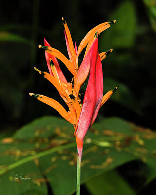 Photograph - Parrot's Beak Heliconia by Jim Thompson