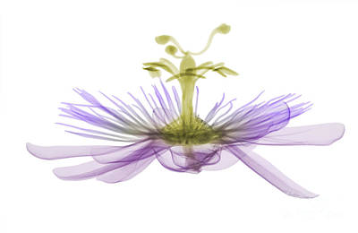 Passion Flower, X-ray Art Print by Ted Kinsman