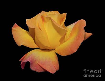 Photograph - Peace Rose by Glenn Franco Simmons