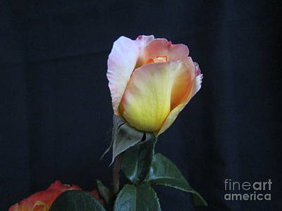 Photograph - Peace Rose by Joyce Woodhouse