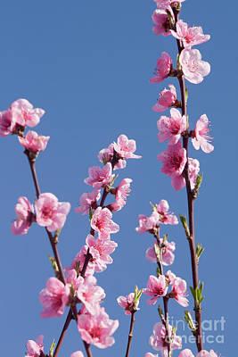 Photograph - Peach Tree Flowers by Irina Afonskaya