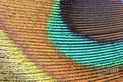 Iridescent Photograph - Peacock Feather by Ted Kinsman