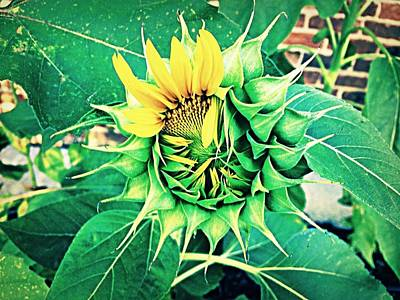 Photograph - Peeping Sunflower by Angela Annas