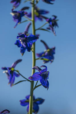 Photograph - Tall Larkspur by Robert Potts