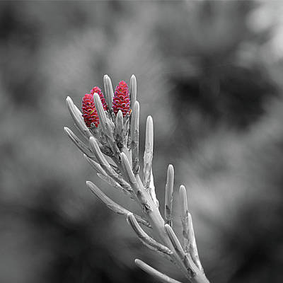 Pine Cones Photograph - Pine Cone Flowers by Paul Causie