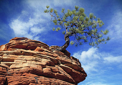 Photograph - Pine Tree In Sandstone by Utah Images