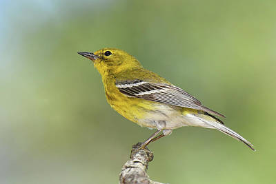 Photograph - Pine Warbler by Alan Lenk