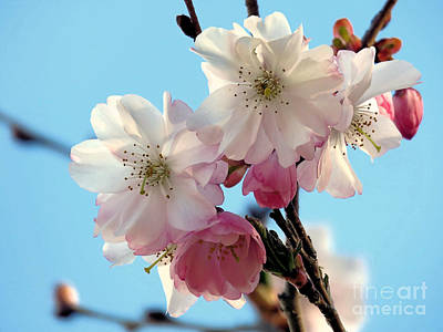 Photograph - Pink Cherry Blossoms by Janice Drew