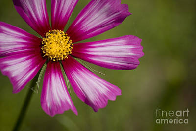 Photograph - Pink Cosmos by Jim and Emily Bush