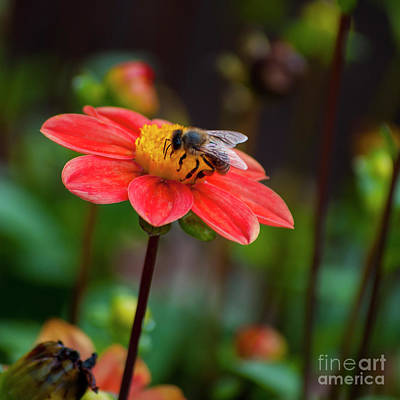 Pink Dahlia With Bee - Square Art Print