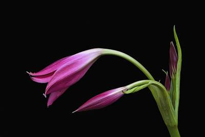 Photograph - 2 Pink Lilies by Ken Barrett