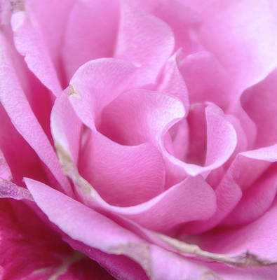 Royalty-Free and Rights-Managed Images - Pink Rose by Martin Newman
