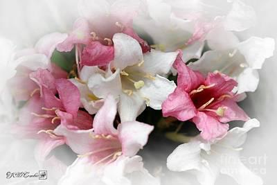 Photograph - Pink Splash Variegated Weigela by J McCombie