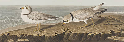 Sea View Drawing - Piping Plover by John James Audubon