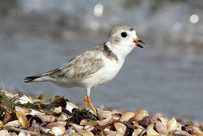 Photograph - Piping Plover Port Jefferson New York  by Bob Savage