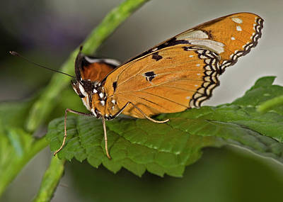 Photograph - Plain Tiger Butterfly by JT Lewis