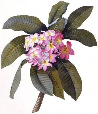 Pink Flower Branch Painting - Plumeria by Georg Dionysius Ehret
