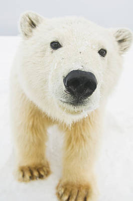 Polar Bear  Ursus Maritimus , Curious Art Print