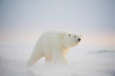 Polar Bear Photograph - Polar Bear  Ursus Maritimus , Young by Steven Kazlowski