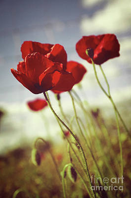 Spring Scenery Photograph - Poppies by Carlos Caetano