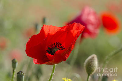 Poppies In Field In Spring Art Print by Perry Van Munster