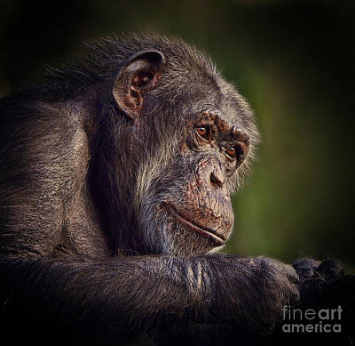 Photograph - Portrait Of An Elderly Chimp II by Jim Fitzpatrick