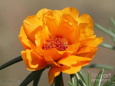 Photograph - Portulaca In Sundial Golden Orange by J McCombie