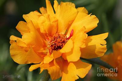 Photograph - Portulaca Named Sundial Gold by J McCombie