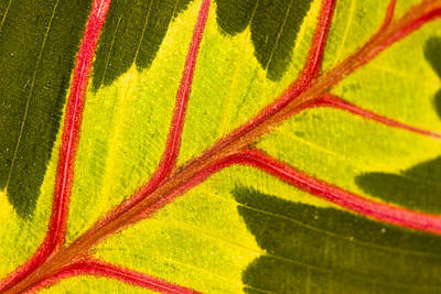 Prayer Plant Maranta Leuconeura Art Print by Gabor Pozsgai