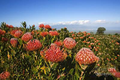 Protea Blossoms Art Print