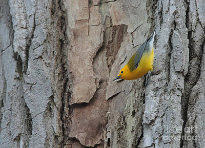 Photograph - Prothonotary Warbler by Charles Owens