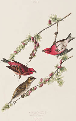 Finch Drawing - Purple Finch by John James Audubon