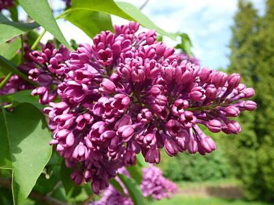 Abstract Shapes Janice Austin Royalty Free Images - Purple lilac bush Royalty-Free Image by Miroslav Nemecek
