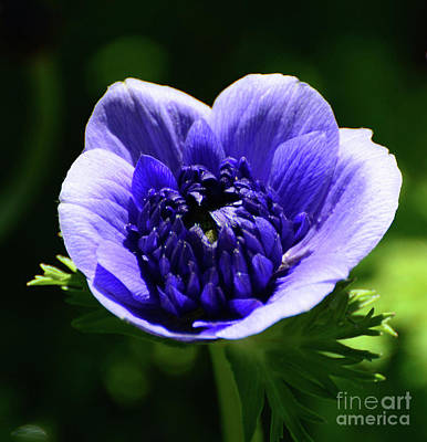 Photograph - Purple Poppy by Cindy Manero